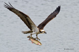Osprey with trout - 2