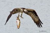 Osprey with trout - 3