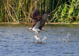 Osprey with catfish