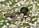 sometimes you just have to stop and smell the daisy's, Mallard