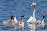 Mute Swan with cignets