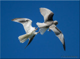 White-tailed Kites breeding display