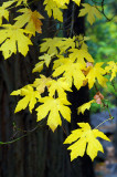 5598-Valley-Maple-showing-off.jpg