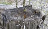 100+ Yr old axe cut cedar