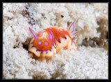 Harlequin Sea Goddess Nudibranch