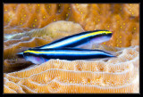 CLeaning Goby Pair