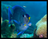 Blue Tang at cleaning station
