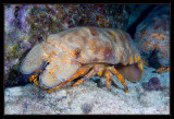 Spanish Slipper Lobster