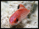 Reef Squirrelfish