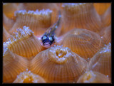 Goby with Polyps