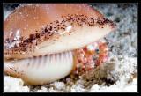 Hermet Crab