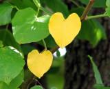 Pair of Hearts - IMG_1512.JPG