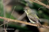 Green-backed Flycatcher (Ficedula elisae) Female