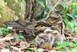 Large Tailed Nightjar, chicks