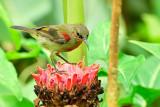 crimson sunbird, young male