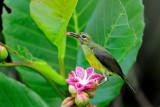 Plain-throated Sunbird ( Anthreptes malacensis  )