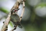 Little Bronze-Cuckoo, Male