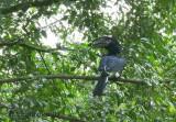 Trumpeter Hornbill (Bycanistes bucinator)