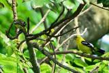 PASSERIFORMES : Aegithinidae