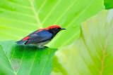 Scarlet-backed flowerpecker ( Dicaeum cruentatum )