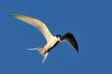 Little Tern ( Sterna albifrons )
