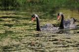 Black Swan ( Cygnus atratus )