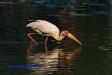 Milky Stork ( Mycteria cinerea)