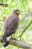 Crested Serpent Eagle ( Spilornis cheela )