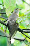 Indian Cuckoo ( Cuculus micropterus )