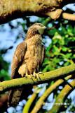 Oriental Honey buzzard ( Pernis ptilorhynchus )