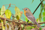 Mugimaki Flycatcher ( Ficedula mugimaki )