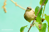 Olive-winged Bulbul ( Pycnonotus plumosus )