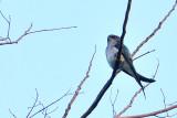 Gray-rumped Treeswift ( Hemiprocne longipennis )