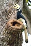 Oriental Pied-Hornbill ( Anthracoceros albirostris ) , male