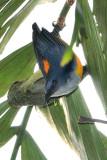 Orange-bellied Flowerpecker ( Dicaeum trigonostigma )