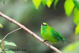 Blue winged Leaf bird
