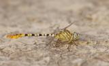 Waved pincertail / Golftanglibel
