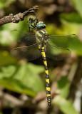 Blue-Eyed Goldenring / Blauwoogbronlibel