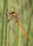 Green-eyed Hawker / Vroege glazenmaker (ssp. antehumeralis)