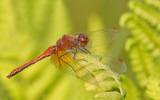 Yellow-winged darter / Geelvlekheidelibel