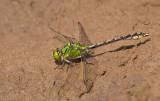 Green snaketail / Gaffellibel