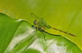 Great Pondhawk / Erythemis vesiculosa