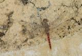 Red Rock-dweller / Bradinopyga strachani