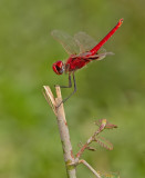 Red Basker / Urothemis assignata
