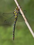 Golden-ringed dragonfly / Gewone bronlibel