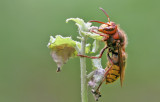 Vespoidea (Wasps / Wespen)