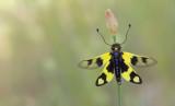 Neuroptera (Net-winged insects / Netvleugeligen)