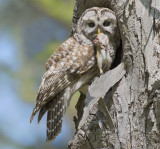 Barred Owlet Luncheon
