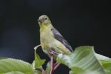 goldfinch sp.