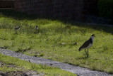 Masked Lapwing with chicks